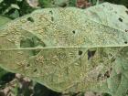 若齢幼虫(体長約3mm)